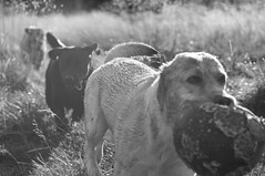Brookie and Max and Cody (Kayleigh McCallum) Tags: uk boy red dog pets max cute nature animal puppy photography scotland blackwhite nikon labrador cody mammals yellowlabrador blacklabrador brookie 2011 foxredlabrador