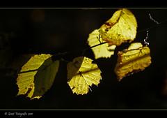 Yellow 2 (Greet N.) Tags: autumn leaves yellow herfst geel bladeren