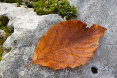 Arrivato l'autunno (Alessandro Fantini photo) Tags: up close natura foglia autunno colori montagna monti bosco caduta sottobosco simbruini autunnali ingiallita
