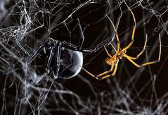 Black Widows! (Sean McCann (ibycter.com)) Tags: spider widow latrodectus