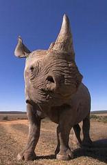 族群受威脅程度達極危(CR)的沙漠黑犀牛(Diceros bicornis bicornis),南非阿多大象公園。(Mark Carwardine攝影,WWF提供)