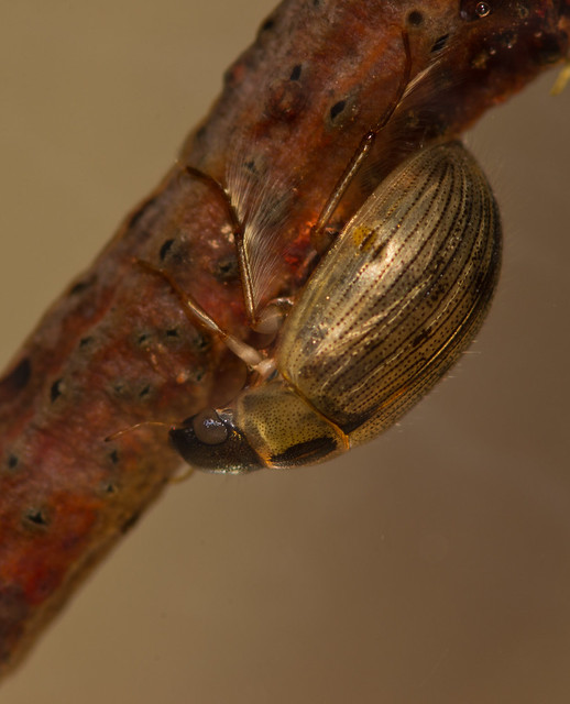 Berosus signaticoillis water scavenger beetle