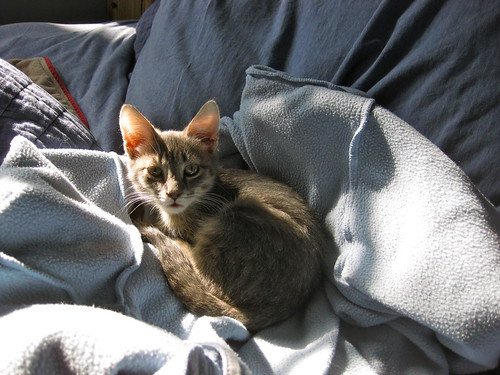 Image description: A gray tabby kitten curled up on a bed in the sun