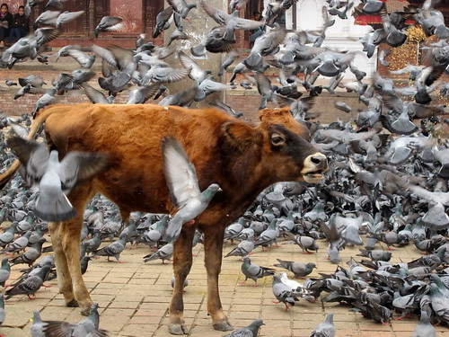 Cow and hundreds of pigeons at Durbar Square