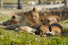 Lioness & cubs at Wild Animal Park in Escondido-77 2-12-08