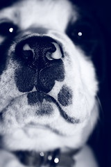 aticas enlagunadas. () Tags: detalle macro blancoynegro blanco cane puppy y negro bigotes spot perro cachorro laguna nariz perra pelos hocico manchas oler manchitas olfato narices olfatear atas detallar elperrodemihermana