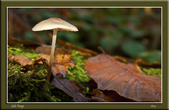 Solo Fungi (MShoey1) Tags: park wood uk wild england brown west macro london nature digital nikon bokeh fungi foliage bonnet croydon wickham d5000 macroflowerlovers mygearandme blinkagain