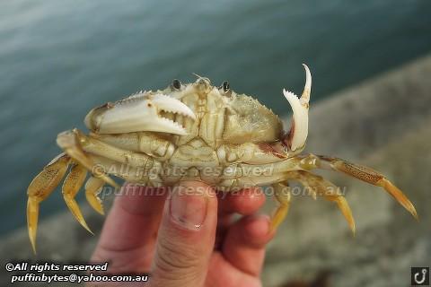Dungeness Crab - Metacarcinus magister