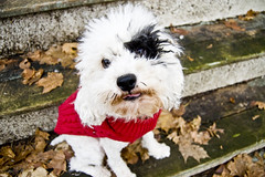 Tongue Trick (aivzdogz) Tags: dog pet white black leaves animal tongue stairs puppy outside outdoors mix fluffy poodle blinkagainforinterestingimages