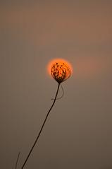 Botanical eclipse (albatros11 (Samir Bzk)) Tags: sunset sun flower art nature algeria soleil stem flickr pentax merci thistle minimalist algérie kx chardon pentaxkx minimaliste tige artisticphoto photoartistique albatros11