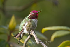Male Anna's hummingbird closeup (Eyesplash - There is a change in the air.) Tags: flowers red urban dog bird nature water animals tongue female vancouver canon happy eos miniature wings branch hummingbird little small wheels feathers lagoon attitude walker tiny creativecommons 7d boxer contraption buds mallard iridescent alive drake winged hummer throat handicapped plucked 100300mm paralysed maleannashummingbird