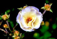 began to bloom (Buyung Mukawi (OFF)) Tags: flores nossas phoddastica