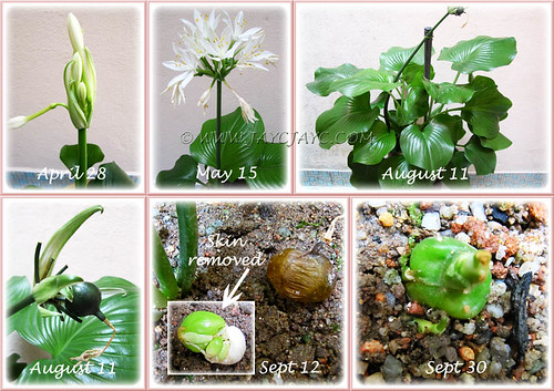 Proiphys amboinensis (Cardwell Lily) - from flower bud to potential seedling