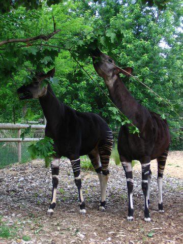 How Do Okapis Get Their Food