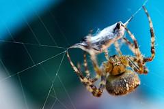 Death by Silk (Sam Danko's Photos) Tags: usa macro fall home nature animal animals fauna bug spider nikon michigan wildlife arachnid bugs made kit 1855mm nikkor arthropods arthropod 2011 homemademacro d5000