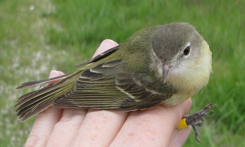 Bell's Vireo in hand