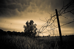 Vines and Wires (Loren Zemlicka) Tags: summer sky blackandwhite bw usa tree nature field grass sepia wisconsin clouds america fence landscape photography photo vines image belleville picture august explore american barbedwire northamerica canonef1740mmf4lusm mammatus hff iceagetrail 2011 canoneos5d flickrexplore danecounty lorenzemlicka happyfencefriday