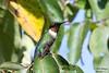 Ruby-throated Hummingbird Male - Bayou Courtableau, Louisiana (Image Hunter 1) Tags: blue red sky male green nature leaves birds leaf louisiana hummingbird wing beak feathers bayou swamp perch greenery perched marsh rubythroatedhummingbird t2i birdslouisiana bayoucourtableau canont2i