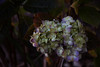 Hydrangea (Imagine Love Photography) Tags: winter flower nature garden purple lavender hydrangea