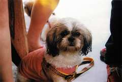 China (nicolegomezzz) Tags: china dog film minolta shihtzu cutie maxxum 7000