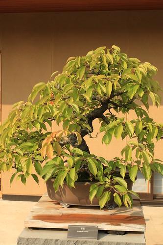 寒桜 Kanzakura (Cherry) - 盆栽美術館 - bonsai museum