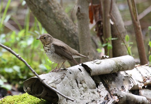 Thrush by ricmcarthur
