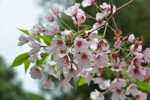 Auckland's cherry blossoms 2