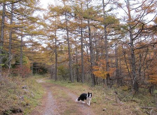 八方台への道を歩くランディ 2011年10月17日15:03 by Poran111