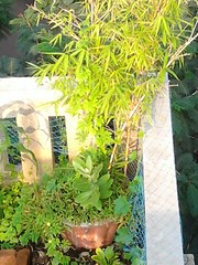 The bamboo guild - pot growing (Siddartha Sikdar) Tags: city urban india garden terrace farming organic pune permaculture