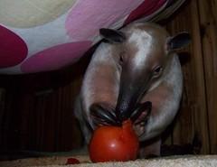 A big tomato