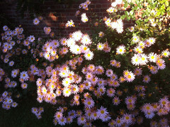 Pink Daisy Mums in Sunlight by randubnick