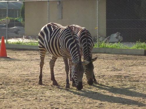 Zebras 0043