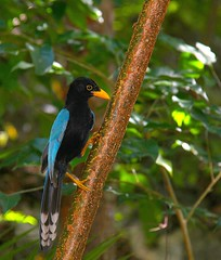 Guatemala - Pjaro / Bird / Vogel (Galeon Fotografia) Tags: naturaleza bird nature guatemala natur ave vogel fgel ibon wow1 wow2   hegazti vol kalikasan  nyuni  galeonfotografa