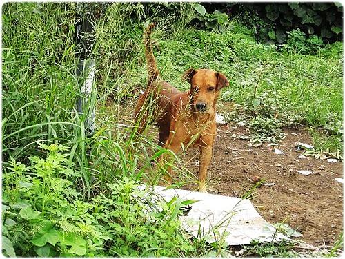 「支援」台南老榮民尤北北重病住進加護病房,所養的三十多隻狗無所依陷入困境,需要糧食支援,謝謝您~20111030
