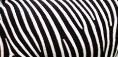 Exercises in Skin: Zebra (lindscatt) Tags: blackandwhite nature skin stripes zebra zebrastripes portlympne