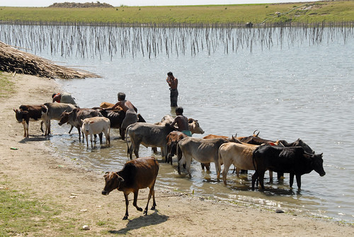 A farmer with his herd, Bangladesh. Photo by WorldFish, 2007