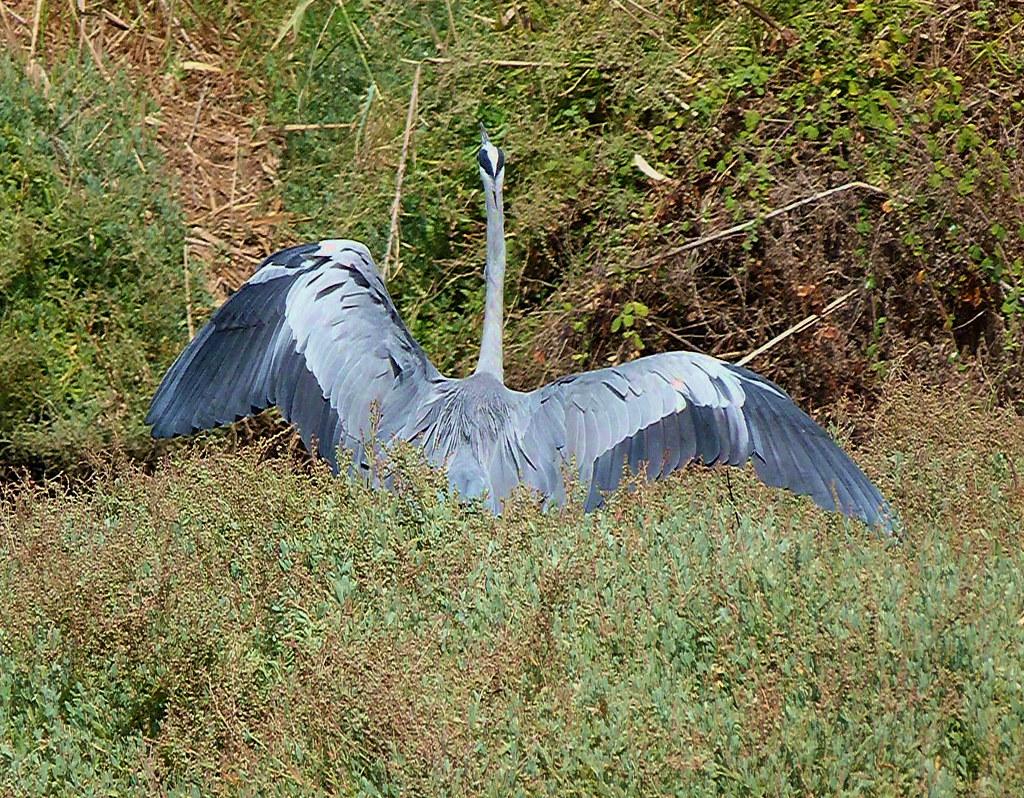 03-11-2011-grey-heron-again2