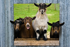 They seem very happy to see me... (DjD-567) Tags: cute laughing happy funny farm newengland newhampshire nh goats hollis 03049