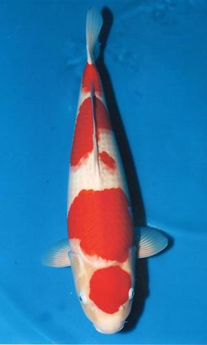 Marudo Kohaku 53cm