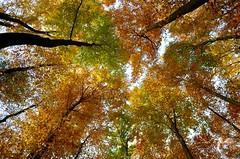 Sügisvärvid Austrias (anuwintschalek) Tags: wood november autumn forest landscape austria herbst autumncolours wald mets niederösterreich beeches sügis buchen 2011 buckligewelt herbstfarben rotbuche d7k pöögimets künklikmaailm nikond7000 sigma1770os pöögid fagussylvativa sügisvärvid