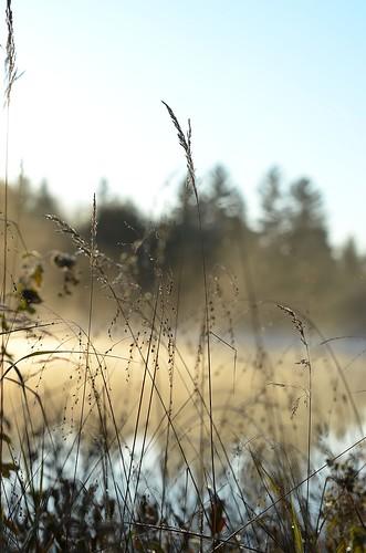 misty grasses_127