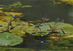 2011 Common Green Darner (Anax junius) Mating 2 (DrLensCap) Tags: park chicago green robert pool insect fly illinois dragon lily dragonfly il lincoln mating alfred common kramer darner caldwell anax junius