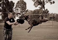 Police Dog, Super-Dog, K-9/MWD (thevisualeffect.com (JD Malave)) Tags: dogs animals outdoors spain navy usn heros dutchshepherd policek9 mwd canon70200mml militaryworkingdogs canon40d