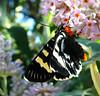 Day Flying Native Mistletoe Moth (missnoma) Tags: buddleia native moth australia lepidoptera nsw dayflying mistletoemoth comocrusbehrii butterflybushhay