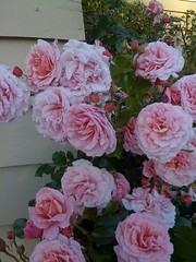 Rosas em nosso jardim (2011) (Paul Beppler) Tags: pink flower rose garden rosie flor rosa garten blum rosinha rosado goode roseira rosenstock rosarote jarfim goote cor~derosa vroniquedumas