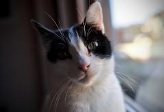 Quella lacrima sul viso... (Candideou l'optimisme) Tags: cats gatti bianchina