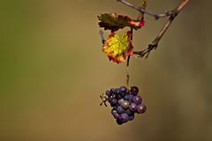 dettagli d'autunno (mat56.) Tags: autumn colors leaves foglie bokeh milano hill grapes dettagli uva autunno colori lombardia collina pianura padana sancolombanoallambro mat56