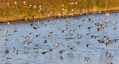 DUCKS IN FLIGHT (jdoakey) Tags: uk greatbritain autumn england colour bird reed water animal speed reeds fly flying duck wings day colours display britain d sony great flock norfolk flight salt wing beak feathers fast clear norwich british marsh alpha soaring gliding dslr fen animalplanet oakley clearsky bif bullrushes reedbed bullrush birdinflight calmwater strumpshaw a55 strumpshawfen flickraward avianexcellence dslt flickraward sonya55 theinspirationgroup