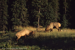 Bull Elk fighting, Jasper National Park, Canada. (Skolai-Images) Tags: park canada animals jasper wildlife bulls national alberta males rockymountains elk fighting mammals wapiti sparring fights ungulates rutting horizontals cervuscanadensis carldonohue skolaiimages