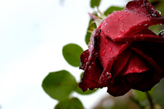 droplet on the rose ([cipher]) Tags: flower rose zeiss nikon droplet distagon d300 zf colorefex capturenx